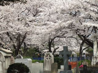 cherry trees in full bloom in the foreign section of Aoyama cemetery